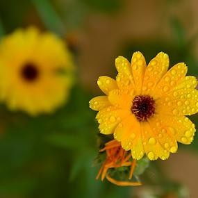 by Selçuk Özkan - Flowers Single Flower ( drop, drops, flowers, flower )