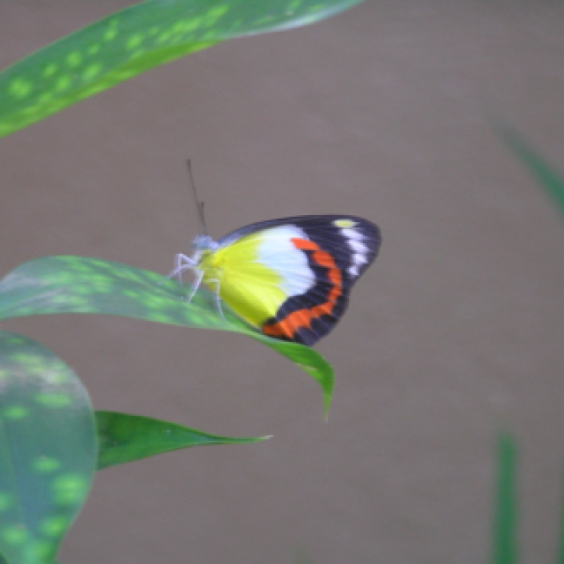 Red-banded Jezabel