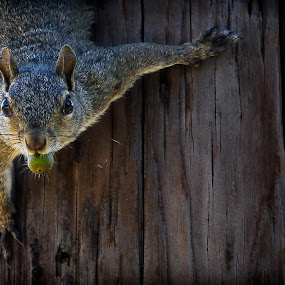 The Nut Job by Jared Lantzman - Animals Other ( gathering, scared, nut, eat, rodent, hungry, squirrel, acorn,  )
