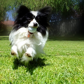 What golf ball? by Julia Harwood - Animals - Dogs Playing ( playing, animals, dogs, papillion, running,  )