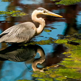 Heron by Dave Clark - Animals Birds ( bird, water, algea, heron,  )
