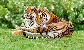 Screenshot of Siberian Tiger Wallpapers