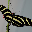 Longwing Zebra Butterfly