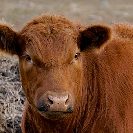 Big and Red by Barbara Brock - Animals Other Mammals ( red cow, cow eye contact, bovine, cow head )