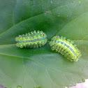 An unknown Caterpillar (एक अज्ञात भंगरा)