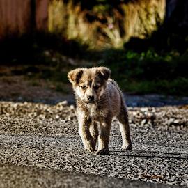 Speedy by Hamos Gyozo - Animals - Dogs Puppies ( puppies, baby, dog,  )