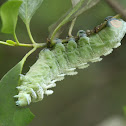 Atlas Moth caterpillar