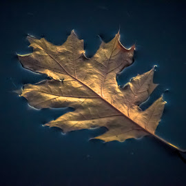 Floater by Gary Hanson - Nature Up Close Leaves & Grasses ( water, oak leaf, surface, autumn, fall, lake, floater )