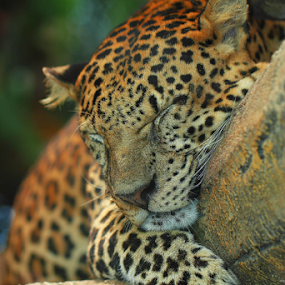 Sleepy Leopard by Sahid Djatmika - Animals Lions, Tigers & Big Cats ( animal, sleeping, sleep, rest, resting )