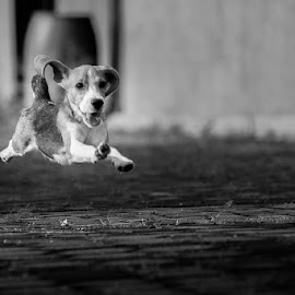 Flying Beagle by Willy Lesmana - Animals - Dogs Running (  )