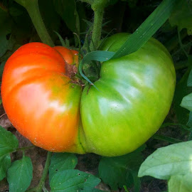Tomato by Christie Henderson - Nature Up Close Gardens & Produce (  )