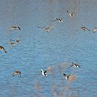 Mallard (Wild Ducks)