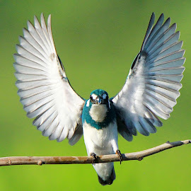 Parade Small Blue King Fisher by Andi Albayquni - Animals Birds ( animals, birds )