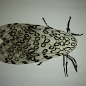 Great Leopard Moth