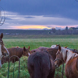 Sunset Dining by Lisa Hansen - Animals Horses ( farm, moses lake, animals, horses, sunset, hay, horse, farmland, fields )