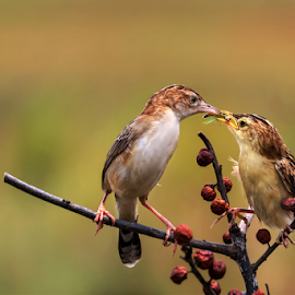 Feeding by Roy Husada - Animals Birds