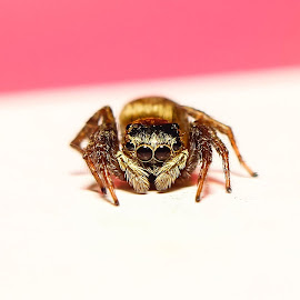 jumping spider by M Ihsan - Animals Insects & Spiders
