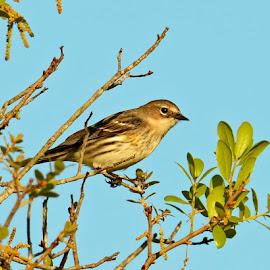 Bird in Tree by Bill Telkamp - Novices Only Wildlife ( outdoor, wildlife, birds )