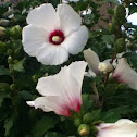 Hibiscus, Rose of Sharon
