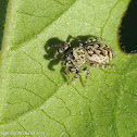 Peppered jumper (female)