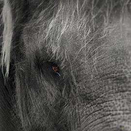 Sharp eyes by M Ihsan Fadhly - Animals Other Mammals ( elephants, sharp, dark, gray, eyes )