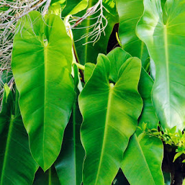 Elephant ear leaves  by Colette Edwards - Nature Up Close Leaves & Grasses (  )