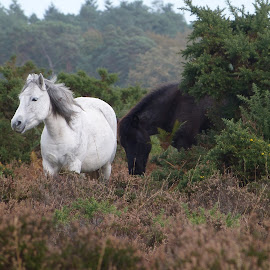 Black and white horses by Mihaela Zhekova - Animals Horses ( nature, horses, original, artistic, photography )