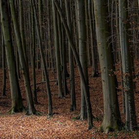 Forest by Javier Luces - Landscapes Forests ( nature, park, autumn, fall, trees, brown, sunlight, leaves,  )