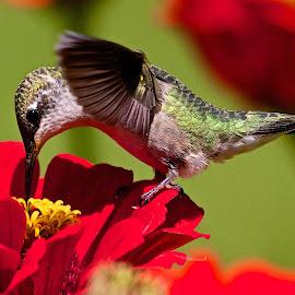 Female Ruby-throated Hummingbird by Dan Ferrin - Animals Birds ( bird, nature, hummingbird, ruby-throated hummingbird, wildlife, birds, humming bird )