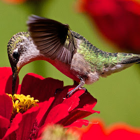 Ruby-throatedHummingbird  025.jpg