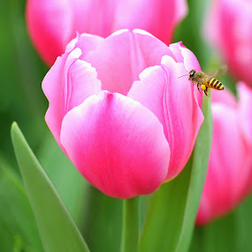 Tulip and Honey Bee by Leka Huie - Flowers Single Flower ( bee, green, tulip, pink,  )