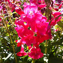 Showy Penstemon