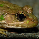 Green frog (female)