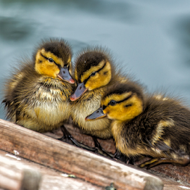 cute duck babies by Horst Winkler - Animals Birds ( wien, babies, entenbabys, familie, enten, babie, ducks, children, kinder, nachwuchs, vienna, family, duck, baby )