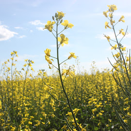 Golden Sask by Raea Gooding - Landscapes Prairies, Meadows & Fields ( canola, agriculture, crops, yellow, golden )