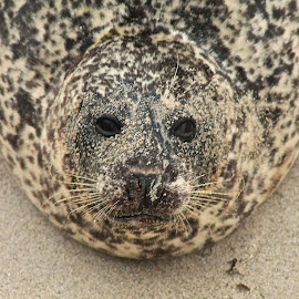 Sea Lion by Wendy Smith  - Animals Other Mammals ( face, california, sandiego, beach, sealion )