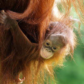 Orang Utan baby by Garry Chisholm - Animals Other Mammals ( garry chisholm, orang, nature, ape, wildlife, primate, utan )
