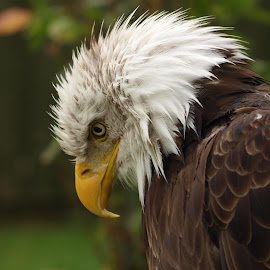 RFG by Garry Chisholm - Animals Birds ( bird, eagle, nature, wildflife, prey, raptor, bald, chisholm, garry )