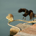 Indian Pond Heron & House Crow
