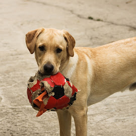 by João Lima - Animals - Dogs Playing ( labrador retriever, playing, retriever, ball, beige, outsite, dog, cute, ladrador )