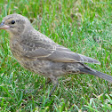 Brown-headed Cowbird (immature)