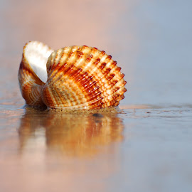 Sea shell by Ivan Marjanovic - Nature Up Close Other Natural Objects ( shell, sea )