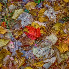 Fall s by Calvin Morgan - Nature Up Close Leaves & Grasses ( hdr, nature, fall, leaves, nikon d7000, closeup )