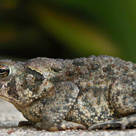 I've Had A Rough Day by Debbie Salvesen - Animals Amphibians ( nature, frog, texture, amphibian, wildlife, toad, animal,  )