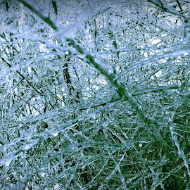 Ice Cold by Cecilia Sterling - Nature Up Close Trees & Bushes