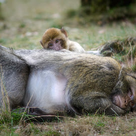 Mother and Baby monkey by Steve Dormer - Animals Other Mammals