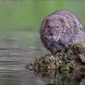 Another Water Vole from today.  3 adults seen and 1 juvenile. by Marlene Finlayson - Animals Other Mammals