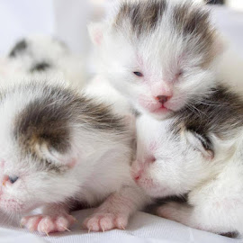 Trifecta by Clayton Glover - Animals - Cats Kittens