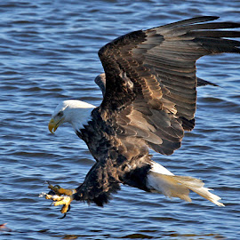 Lunch !  by Mike Grosso - Animals Birds ( canon, nature, bald eagle, raptors, birds in flight )