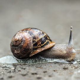 Snail by Mauro Amoroso - Animals Other ( nature, lumaca, snail )